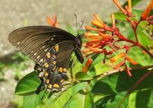 Beautiful Black Swallowtail Butterfly On Firebush Flowers In Florida Garden