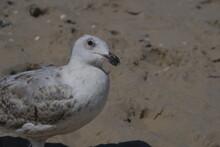 Der Oberkörper Einer Möwe Steht In Dem Linken Teil Des Bildes. Der Vogel Steht Auf Dem Sand Und Schaut Schräg Nach Oben.