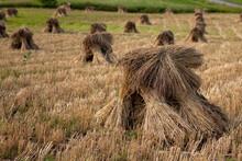 Amish Wheat Shocks, New York S...