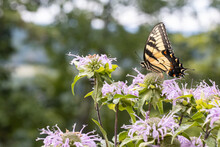 Eastern Tiger Swallowtail Butterfly Feeding In A Field Of Purple Wildflowers - Papilio Glaucus