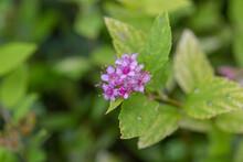 Purple Flowers Blooming Outdoors Golden Mountain Spiraea,Spiraea Japonica Gold Mound