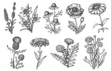 Wild Flower. Natural Herb And Weeds Sketch Collection. Wild Medicinal Flower Hand Drawn Botanical Set Isolated On White Background. Vintage Summer Field Or Meadow Flowering Plant Vector Illustration