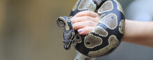 Closeup Snake Python On Hand