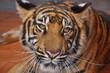 View of dangerous graceful tiger, Close-up, Vietnam