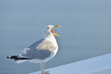 Seagull With An Open Beak, Close-up. Helsinki, Finland. Portrait Art, Birds, Ornithology, Science, Graphic Resources, Macro Photography Concepts