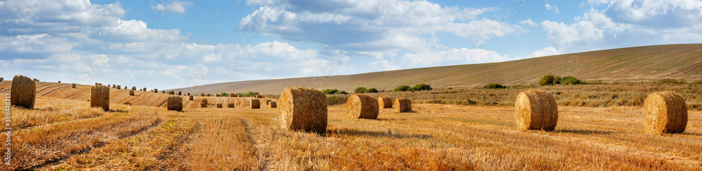 Fototapeta Cylindrical straw bales lie on a sloping field.