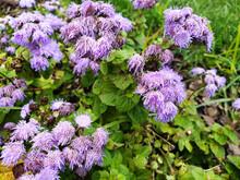 Blue Wet Flowers Of Ageratum Houstonianum Or Conoclinium Coelestinum After Rain.