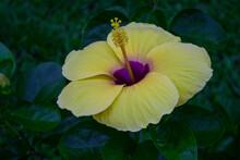 Yellow Hibiscus Flower In The Garden