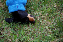 A Cute Small Black Dachshund I...
