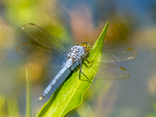 Close Up Of Male Eastern Or Common Pondhawk Dragonfly Taken At Deer Prairie Creek Preserve In North Port Florida United States