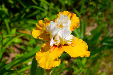Good Luck Four Leaf. Beautiful Yellow And White Iris Flower. Blurred Green Background. Summer. Garden. Nature. Sunny Day.