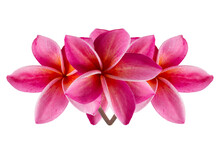 Group Of Pink Flowers (Frangipani,Plumeria) Bloom Isolated On White Background.