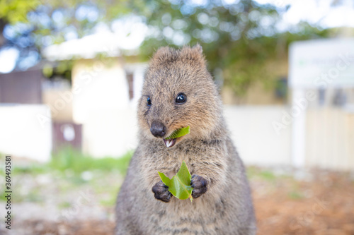 The happiest animal quokka is smiling and eating a delicious leaf at Rottnest Is фототапет