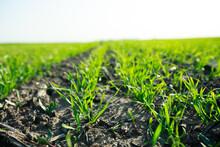 Sprouts Of Grain Crops Began T...