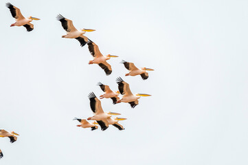 Great white pelicans flying in formation in Walvis Bay