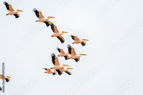 Fotografia Great white pelicans flying in formation in Walvis Bay