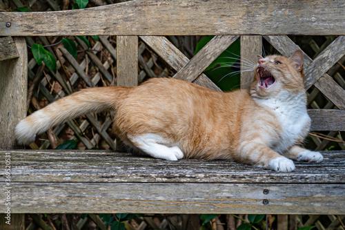 Photo Hear me roar. Playful ginger cat on wooden bench