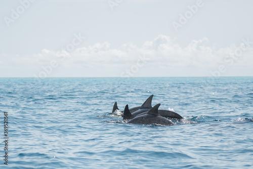 Fototapeta Dolphins swimming on blue ocean in Zanzibar obraz