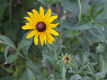 Closeup Of Yellow Gold Black Eyed Susan Flower And Bud