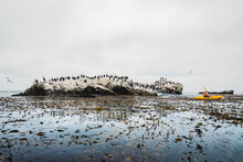 Ocean Kayaking. Kelp Forest, And Cliffs With Flock Of Cormorants. Shell Beach, California
