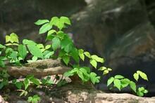 Poison Ivy Vines On Rocky Grou...