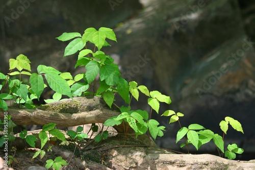 Slika na platnu Poison ivy vines on rocky grounds