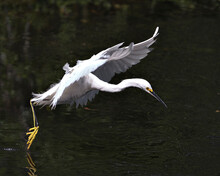 Snowy Egret Bird Stock Photos. Image. Portrait. Picture. Beautiful White Fluffy Feathers Plumage. Flying Bird Over Water. White Colour.