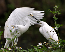 Snowy Egret And Little Egret Bird Stock Photos. Close-up Profile View With Spread Wings With Blur Contrast Background And White Flowers Foreground, Displaying Fluffy White Feathers In Their Habitat.