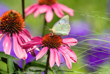 A Clouded Sulphur Butterfly Collecting Nectar On A Pink Echinacea Flower In A Multi Colored Garden Setting.