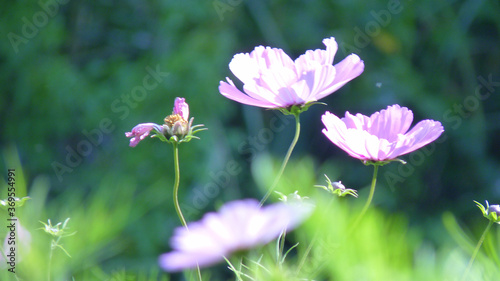 Fototapety, obrazy: Shallow focus shot of purple garden cosmos flowers in a blurry background