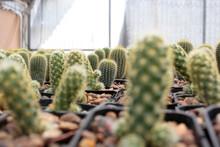 Cactácea Cactus