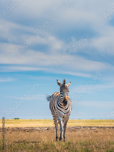 alone young zebra walks in national park in summer day under sky with clouds with copy space