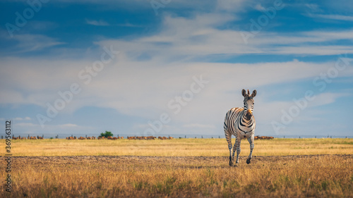 young zebra runs in savanna under blue sky with copy space