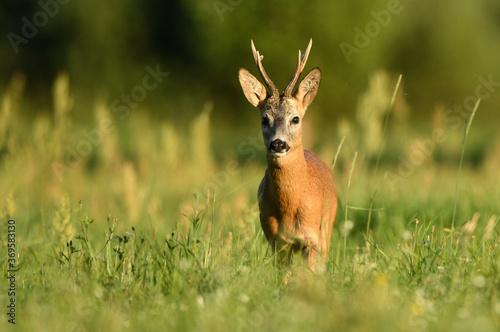 Stampa su Tela Roe deer buck( Capreolus capreolus )