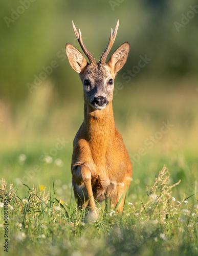 Obraz Roe deer buck( Capreolus capreolus ) - fototapety do salonu