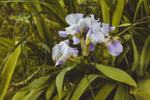 Close-up Of A Flower Of Bearded Iris . Iris Germanica On Blurred Green Natural Background. Blue Iris Flowers Are Growing In A Garden.