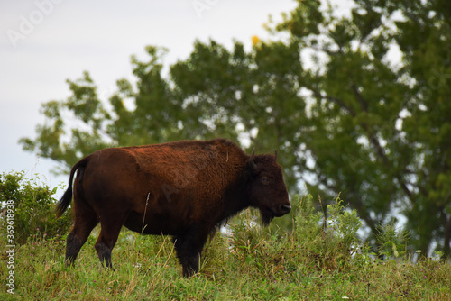 American Bison Standing on a Hilltop