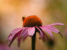 Closeup Shot Of Purple Coneflower And A Bumblebee On A Blurred Background