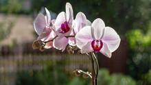 Storczyk Phalaenopsis, Jeden Z Najpiękniejszych Kwiatów Z Rodziny Storczyków, Występujący Naturalnie W Azji Południowo-wschodniej Oraz Północnej Australii.