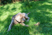 A Small Weimaraner Dog Watches A Wounded Nightingale Bird On A Meadow In The Yard