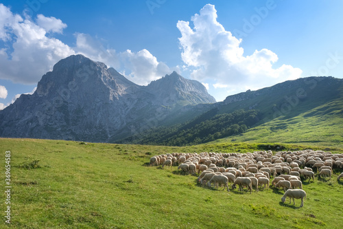 Fototapeta flock of sheep on the grasslands on the slopes of the gran sasso italy