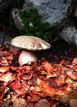 Edible Boletus Reticulatus Mushroom From The Spanish Pyrenees