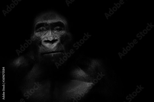 Fotografía Dark portrait of a gorilla on a black background