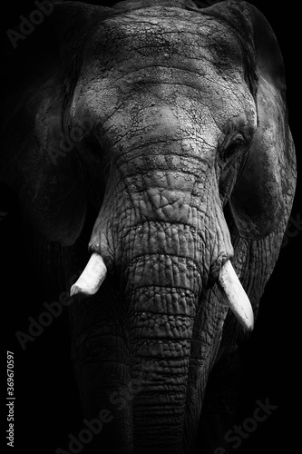 Black and white face elephant