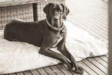 Portrait Of A Dog, Great Dane