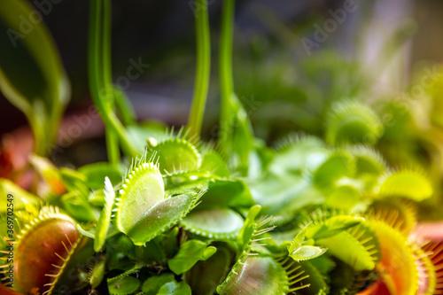 Obraz na plátně Venus flytrap carnivorous plant close-up view