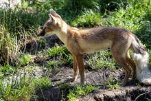 Corsac Fox Corsac, Vulpes Corsac, Small Canine Beast, Feeds On Small Rodents
