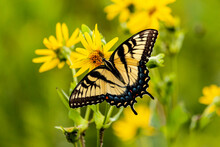 A Tiger Swallowtail Butterfly Feeding On The Nectar Of Cup Plant With A Green Background.