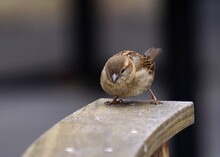 A Female House Sparrow Sits Pe...
