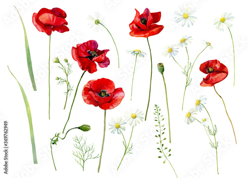 Set of watercolor scarlet poppies and daisies on a white background